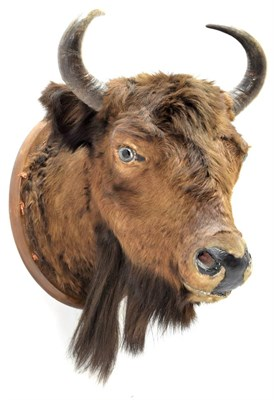 Lot 2058 - Taxidermy: European Bison (Bos bonasus), circa 1900, young adult male head mount looking...