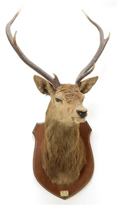 Lot 2059 - Taxidermy: Scottish Red Deer (Cervus elaphus), circa October 01st 1925, Isle of Mull, attributed to