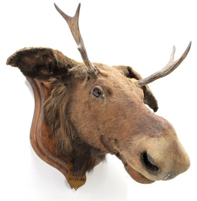 Lot 2060 - Taxidermy: European Moose (Alces alces), circa September 25th 1876, Norway, young adult male...