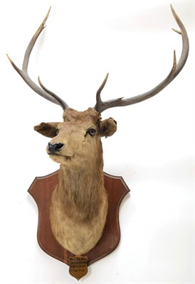 Lot 2061 - Taxidermy: Scottish Red Deer circa 1906, adult stag Red Deer with head turning slightly to the...