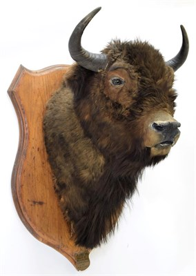 Lot 2062 - Taxidermy: Wisent or European Bison (Bos bonasus), circa August 11th 1875, Forest of...