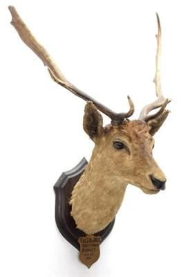 Lot 2063 - Taxidermy: Fallow Deer (Dama dama), circa 1901, Hopley Farm, Hodnet, by Rowland Ward ''The Jungle''