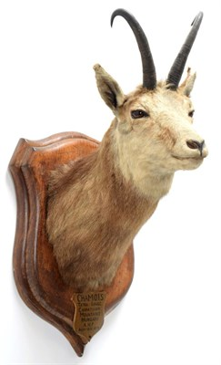 Lot 2064 - Taxidermy: Alpine Chamois (Rupicapra rupicapra), circa August 21st 1879, Hungary, adult neck...