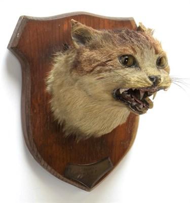 Lot 2066 - Taxidermy: Wild Domestic Cat (Felis catus), circa December 27th 1894, Hope Wood, Hodnet, adult head