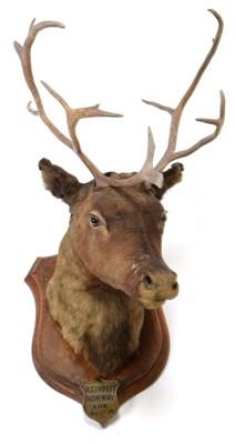 Lot 2068 - Taxidermy: European Reindeer (Rangifer tarandus), circa 1876, Norway, a young adult male head mount