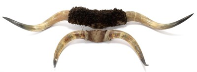 Lot 2069 - Antlers/Horns: Steer Horns (Bos taurus), circa 1900, a pair of large Steer Horns with hide...