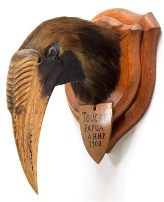 Lot 2071 - Taxidermy: Blyth's Hornbill (Rhyticeros plicatus), circa 1900, Papau New Guinea, adult male...