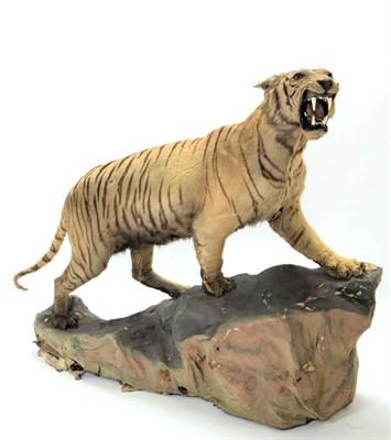 Lot 2074 - Taxidermy: A Full Mount Bengal Tiger (Panthera tigris tigris), circa April 1901, Nepal,...