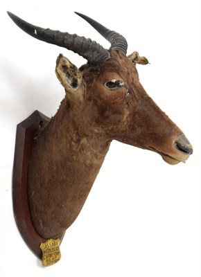 Lot 2076 - Taxidermy: Cape Greater Kudu & Tsessebe, circa 1929, South Africa, by J.R. Ivy, Taxidermy,...