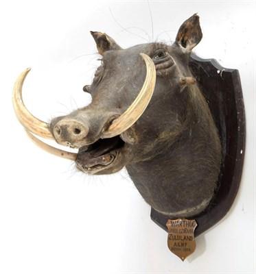 Lot 2077 - Taxidermy: Bush Pig & Common Warthog, circa 1931 - 1930, South Africa, adult Bush Pig head...