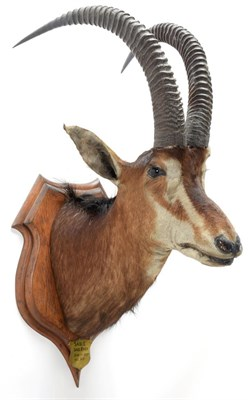 Lot 2079 - Taxidermy: Southern Sable Antelope (Hippotragus niger niger), circa June 21st 1897, Sand River,...