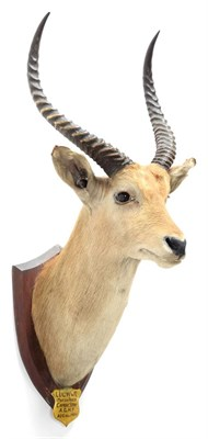 Lot 2084 - Taxidermy: Red Lechwe (Kobus leche), circa August 22nd 1929, Marsh River, Africa, by J.R. IVY,...