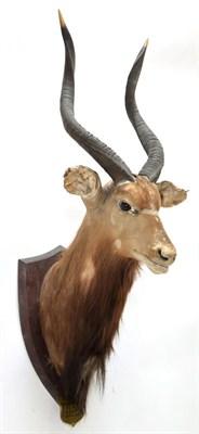 Lot 2088 - Taxidermy: Cape Greater Kudu & Lowland Nyala, circa 1929, by J.R. Ivy Taxidermy, Pretoria,...