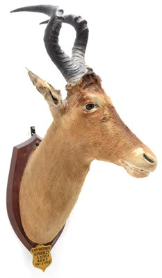 Lot 2090 - Taxidermy: Cape Red Hartebeest (Alcelaphus buselaphus caama), circa May 08th 1929, Kimberley, South