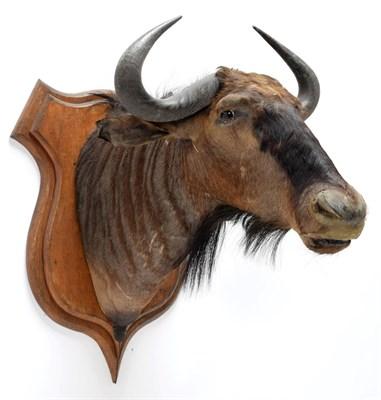 Lot 2091 - Taxidermy: Blue Wildebeest (Connochaetes taurinus), circa 26th June 1897, Sand River, East...