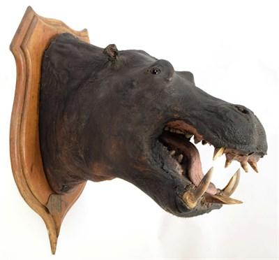 Lot 2094 - Taxidermy: African Hippopotamus (Hippopotamus amphibius), circa August 07th 1897, Moosapassa River