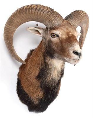 Lot 2 - Taxidermy: European Mouflon (Ovis aries musimon), circa late 20th century, adult male approximately