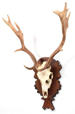 Lot 4 - Antlers/Horns: European Fallow Deer (Dama dama), modern, young adult stag antlers on cut upper...
