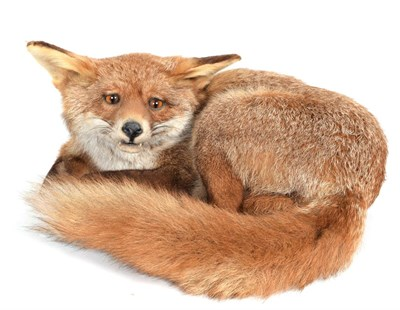 Lot 5 - Taxidermy: A Fireside Red Fox (Vulpes vulpes), circa late 20th century, a full mount adult fox...