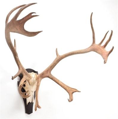 Lot 6 - Antlers/Horns: European Caribou (Rangifer tarandus), circa late 20th century,  large adult bull...