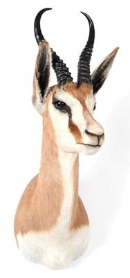 Lot 8 - Taxidermy: South African Springbok (Antidorcas marsupialis), modern, high quality adult male...