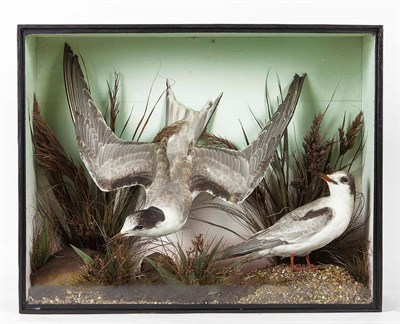 Lot 10 - Taxidermy: A Victorian Cased Pair of Arctic Terns (Sterna paradisaea), a pair of full mount...