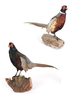 Lot 11 - Taxidermy: A Pair of Ring-Necked Pheasants (Phasianus colchicus), modern, a pair of full mount...