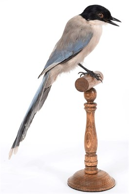 Lot 12 - Taxidermy: Azure-Winged Magpie (Cyanopica cyanus), modern, a full mount adult perched upon a turned