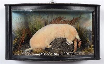 Lot 16 - Taxidermy: A Wall Cased Golden Mole (Talpa europaea), modern, Crow Hills, Farm, Leyburn, by...