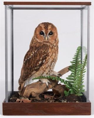 Lot 19 - Taxidermy: A Cased Tawny Owl (Strix aluco), circa 2011, by Dave Hornbrook, Taxidermy,...