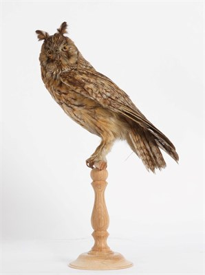 Lot 28 - Taxidermy: Long-Eared Owl (Asio otus), circa 1900-1920, a full mount adult with head turning to the