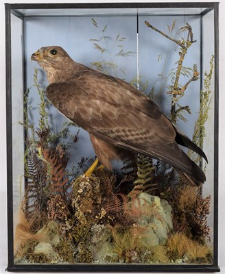 Lot 29 - Taxidermy: Common Buzzard (Buteo buteo), 1870-1920, by H.T.Shopland, 40 Higher Union St, Torquay, a