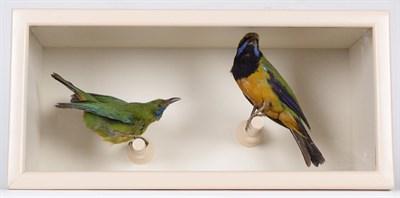 Lot 30 - Taxidermy: A Cased Orange-Bellied Leafbird & Jerdon's Leafbird, circa early 20th century, both full
