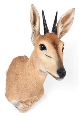 Lot 33 - Taxidermy: Southern Bush Duiker (Sylvicapra grimmia caffra), modern, a high quality adult male...