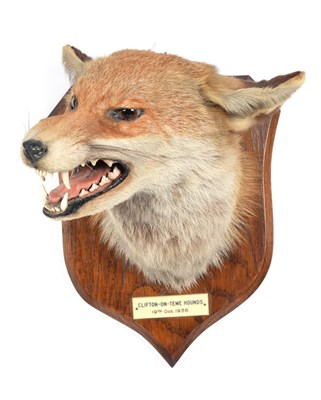 Lot 35 - Taxidermy: Red Fox Mask (Vulpes vulpes), dated 19th Oct 1938, by E.F. Spicer, Taxidermy, 58 Suffolk