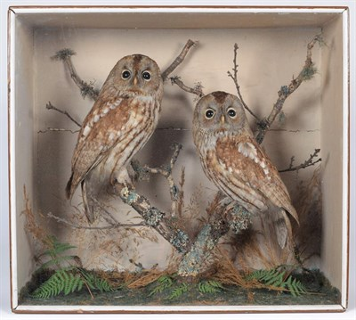 Lot 37 - Taxidermy: A Cased Pair of Tawny Owls (Strix aluco), circa 1880-1900, a pair of adult full...