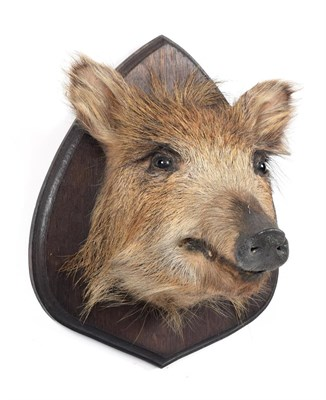 Lot 42 - Taxidermy: European Wild Boar Piglet (Sus scrofa), circa late 20th century, a piglet head mount...
