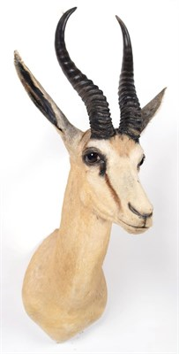 Lot 44 - Taxidermy: South African Springbok (Antidorcas marsupialis), circa late 20th century, adult...