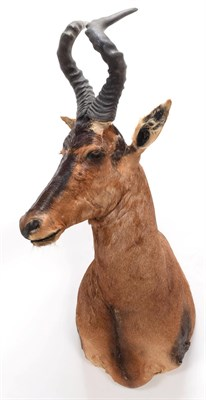 Lot 46 - Taxidermy: Cape Red Hartebeest (Alcelaphus caama), circa late 20th century, adult male shoulder...