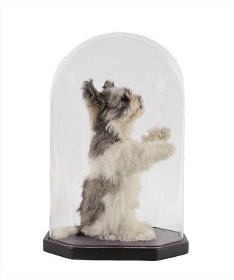 Lot 48 - Taxidermy: Shih-Tzu Dog (Canis lupus familiaris), circa late 20th century, full mount adult sat...
