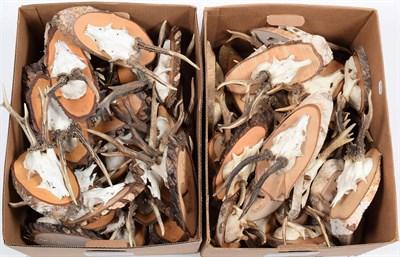 Lot 51 - Taxidermy: European Roebuck (Capreolus capreolus), circa late 20th century, fifty sets of...