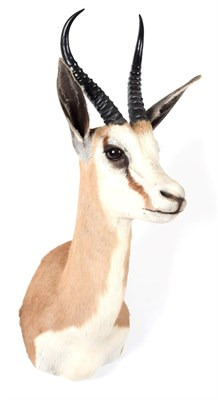 Lot 52 - Taxidermy: South African Springbok (Antidorcas marsupialis), modern, a high quality adult male...