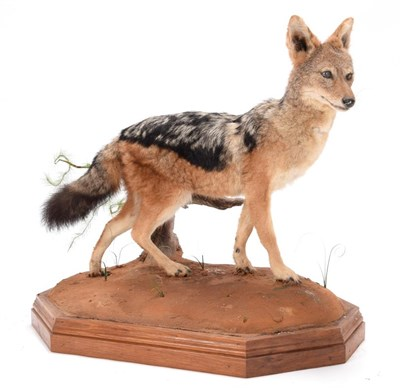 Lot 54 - Taxidermy: Black-Backed Jackal (Canis mesomelas), modern, South Africa, a full mount adult in...