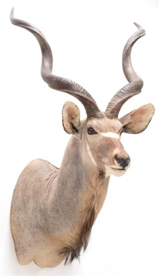Lot 56 - Taxidermy: Cape Greater Kudu (Strepsiceros strepsiceros), modern, South Africa, a high quality...
