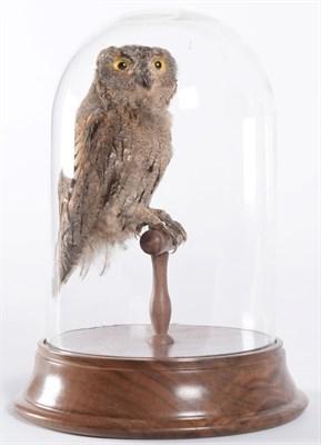 Lot 61 - Taxidermy: Eastern Screech Owl (Megascops asio), circa 1900-1930, a full mount adult with head...