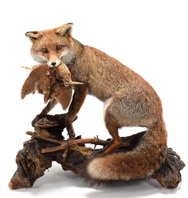 Lot 62 - Taxidermy: European Red Fox (Vulpes vulpes), circa late 20th century, a full mount adult male...