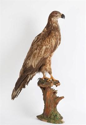 Lot 63 - Taxidermy: A Late Victorian White-Tailed Sea Eagle (Haliaeetus albicilla), a large full mount...