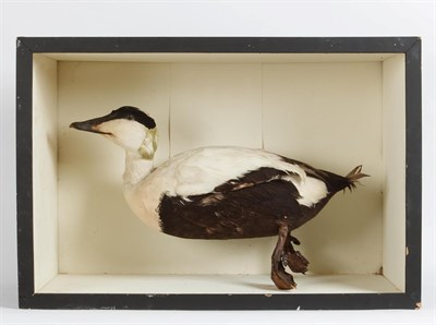 Lot 64 - Taxidermy: A Cased Eider Duck (Somateria mollissima), circa late 20th century, in the manner of...
