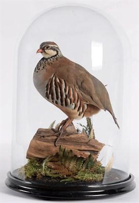 Lot 66 - Taxidermy: A Red-Legged Partridge (Alectoris rufa), modern, by Adrian Johnstone, Taxidermy,...