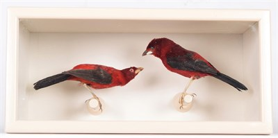 Lot 67 - Taxidermy: A Cased Pair of Brazilian Tanagers (Ramphocelus bresilius), circa early 20th...